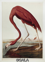 Audubon, John James (1780-1851) Flamingo americano